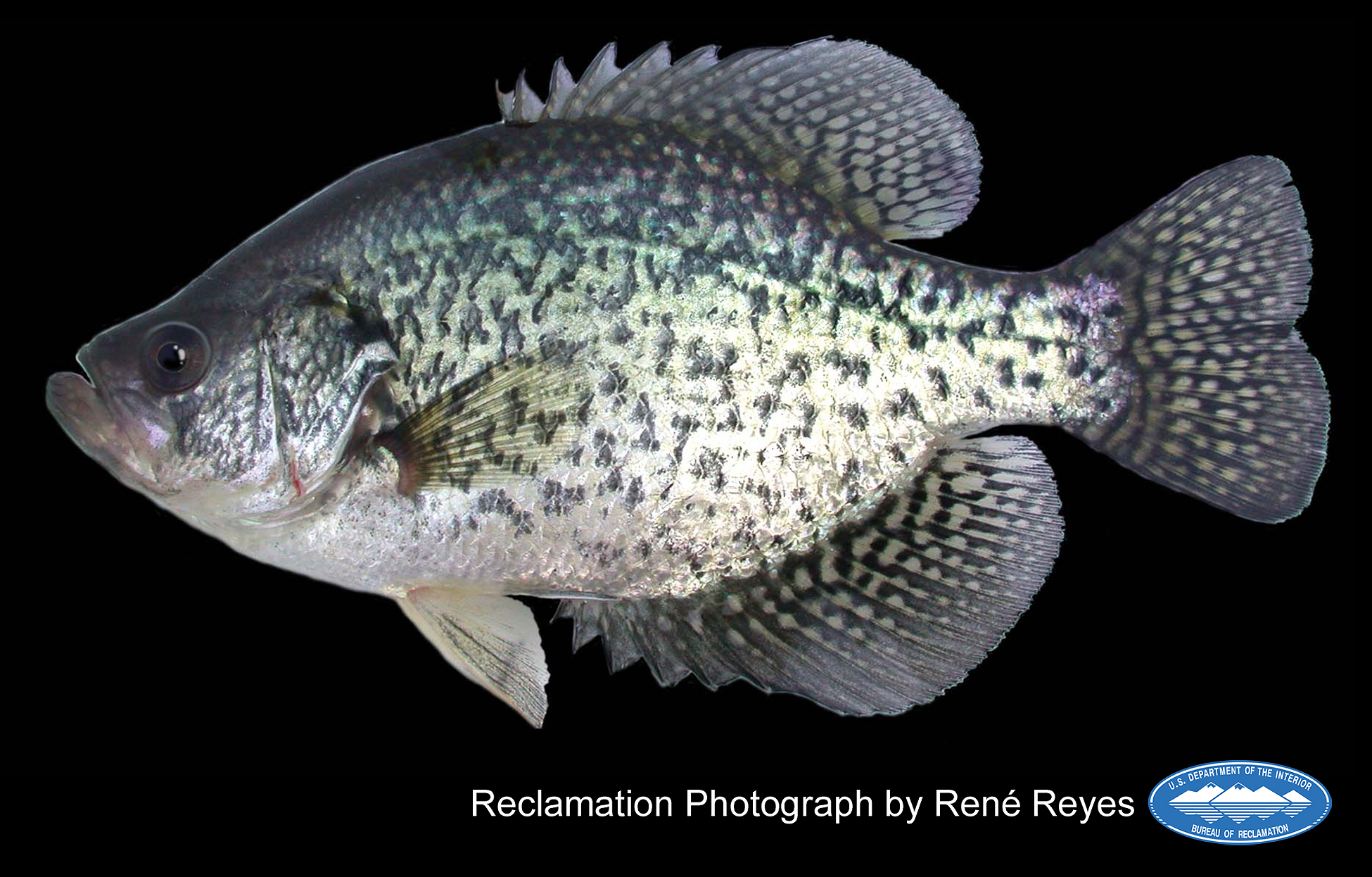 Black crappie willow creek fisheries for Pictures of crappie fish
