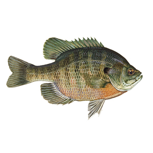 Bluegill Stocking
