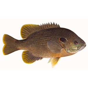 Red Ear Sunfish for stocking lakes